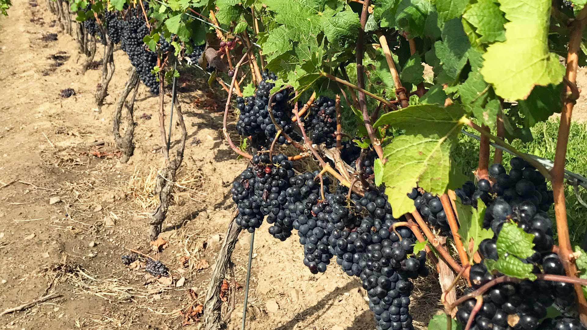 grapes1-1920